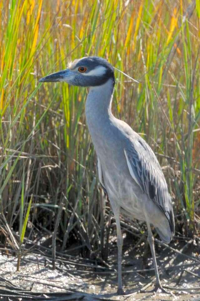 Yellow crowned night heron close to the Gulf coast of Texas