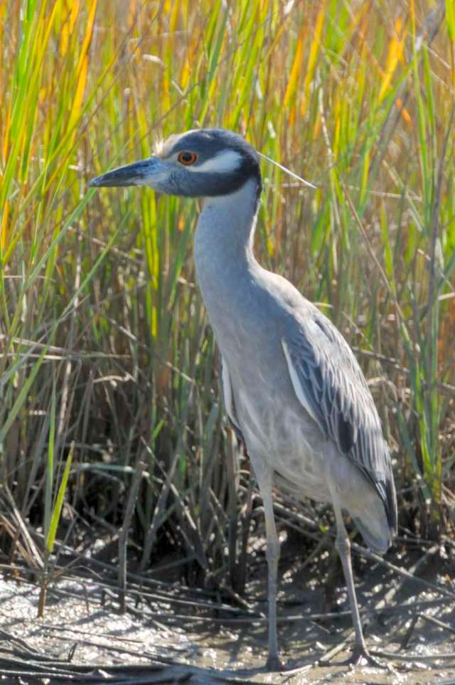 Yellow crowned night heron close to the Gulf coast of Texas