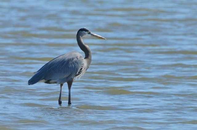 Great blue heron near the Gulf coast of Texas