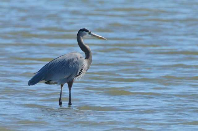 Great blue heron near the Gulf coast of Texas