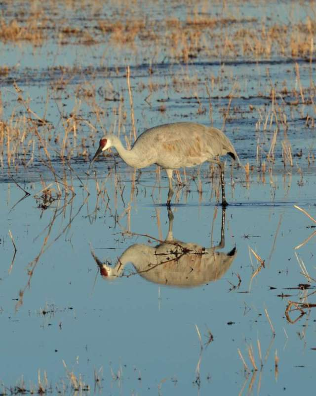 Sandhill crane in Bosque del Apache NWR in NM