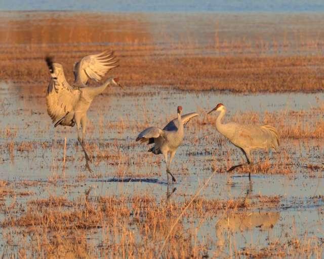 Sandhill cranes in Bosque del Apache NWR in NM