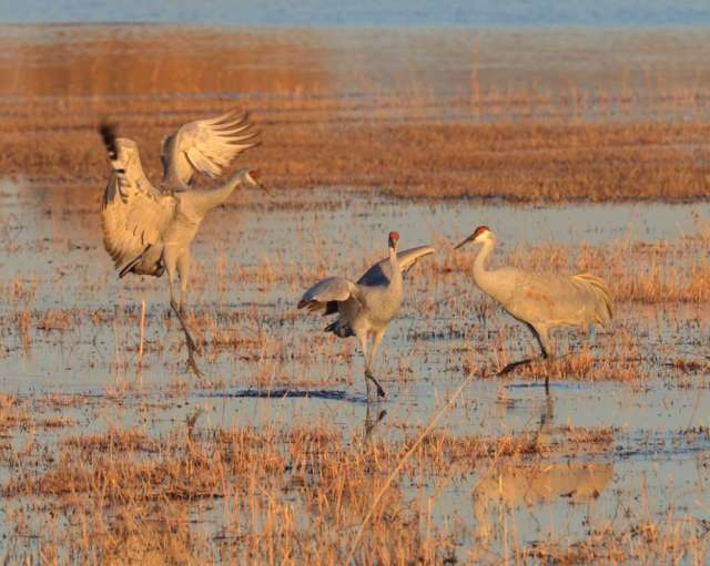 Sandhill cranes in Bosque del Apache NWR in NM