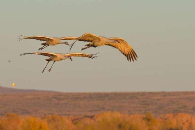 Sandhill cranes in flight at Bosque del Apache NWR in NM