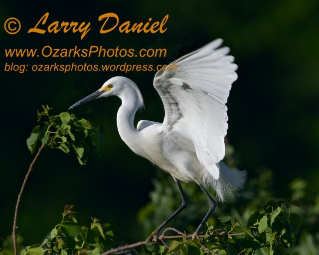 Great Egret Landing, Late Afternoon