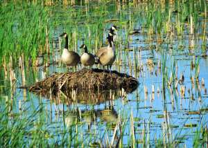 Canada Goose Family posing